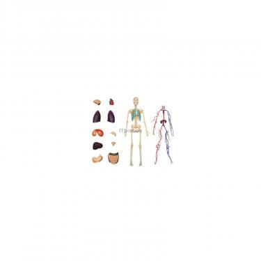 Пазл 4D Master Объемная модель Тело человека прозрачное Фото 1